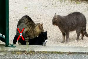 Contraception chez la chatte : prévention/suppression des chaleurs