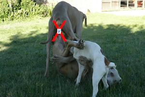 Contraception médicale  chez la chienne