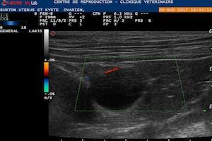 Drainage échoguidé d'un kyste ovarien au CRECS chez une chienne infertile