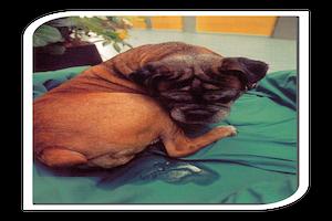 Read more about the article Incontinence urinaire liée à la castration de la chienne et du chien