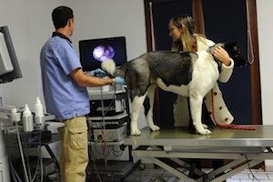 Inséminations intra-utérine de chiennes sous vidéoscopie au CRECS