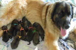 Read more about the article Mise bas normale (eutocique) chez la chienne et la chatte