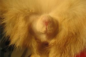 Phimosis congénital chez un chat